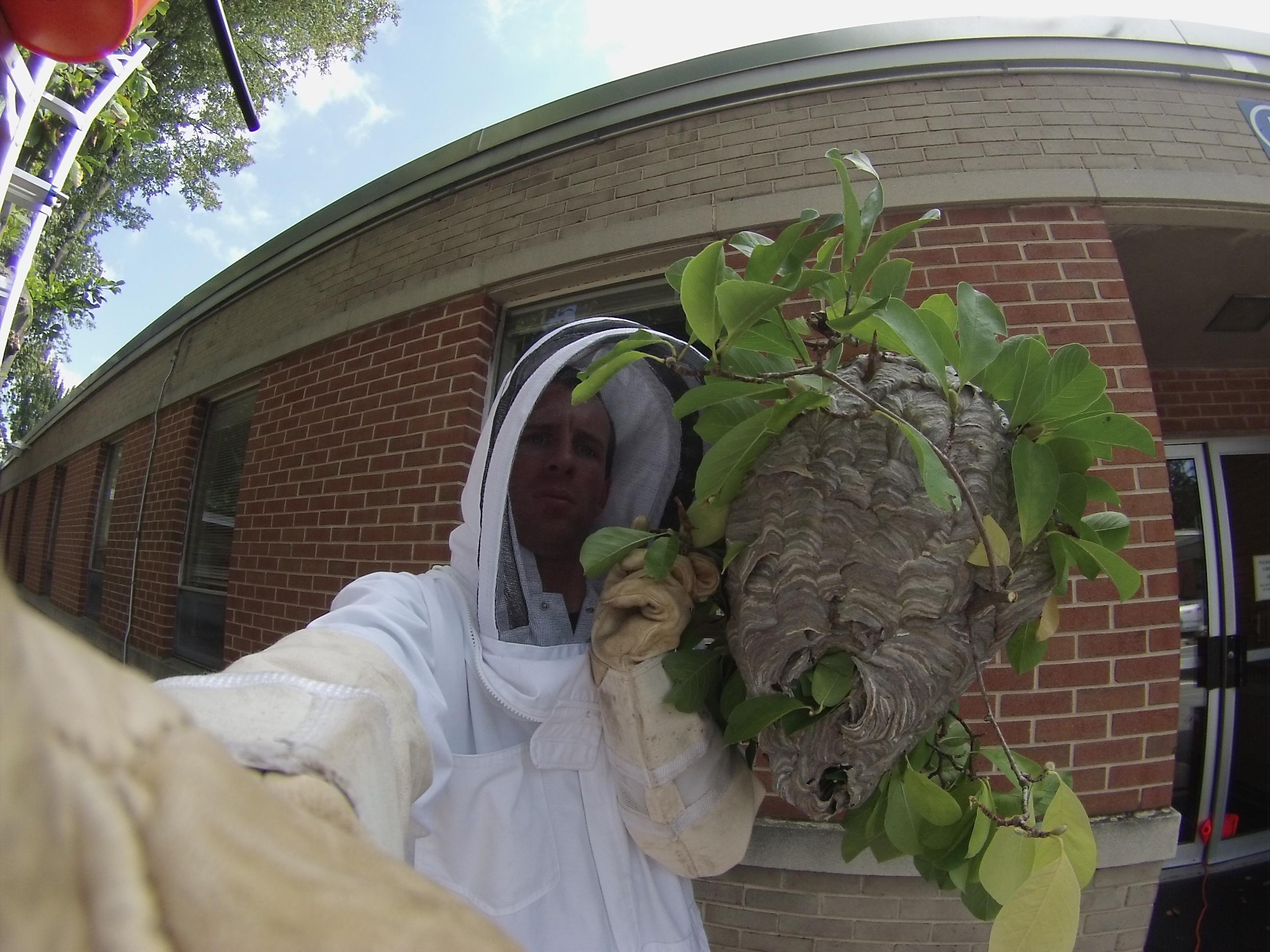 Big Baldfaced Hornet Nest