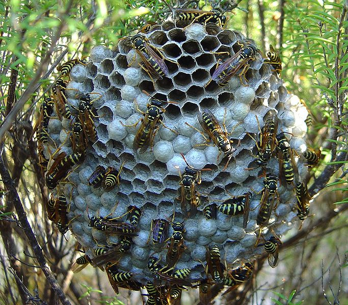 Umbrella Wasp Nest